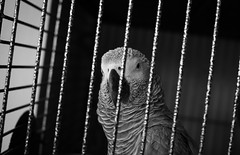 untitled-0052 (StuartHowePhotography) Tags: bird grey african sigma parrot cage merrill dp2