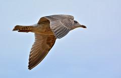 ~ Peeking at YOU! ~ (Ruth S Hart) Tags: uk bird beach gull flight essex frintononsea nikon55300mm nikond5200 ©ruthshart
