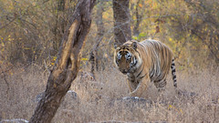 Tiger Tiger II (Rahul Nanavati) Tags: summer india male jeep wildlife tiger safari maharashtra tadobanationalpark