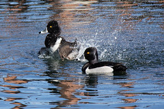 Ring-necked ducks. (Alexandra Rudge.Thank you for 4,6 millons + viewer) Tags: water canon duck agua wildlife ducks aves ave pato ringneckedduck animalia aythya refections reflejos patos wildanimals waterreflections aythyacollaris wildduck wildbirds anseriformes reflejosenelagua divingduck wildducks ringbill chordata vidasilvestre californiabirds vidaanimal vidasalvaje patosalvaje aythyinae californiawildlife patossalvajes southerncaliforniabirds losangeleswildlife animalessilvestres californiafauna southerncaliforniawildlife ringneckedduckmale pajarossilvestres flickrhivemindgroup alexandrarudge californiawildbirds pajarosdecalifornia pajaroscalifornianos vidaanimalpajarossalvajes pajarosdenorteamerica faunadenorteamerica avesdenorteamerica californiaducks southerncaliforniawildbirds southerncaliforniafauna pajarossalvajesnorteanericanos southerncaliforniaducks wildlifeofcalifornia lawildlife losangelesducks laducks acollaris alexandrarudgebirds alexandrarudgeducksandgeese