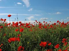 Feliz martes ..... ♫ (jacilluch) Tags: red flower macro fleur de flor blossoms poppy campo rosella silvestre coquelicot roja papaver nwn poppys amapolas amapola papavero cornpoppy papoula adormidera ababol mitxoleta papuel