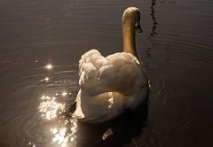 DSC_0022 - Diamonds On The Soles Of Her Shoes (SWJuk) Tags: uk light england sunlight home closeup diamonds canal spring swan nikon lancashire sparkling contrejour burnley 2014 leedsliverpoolcanal d90 nikond90 adultswan swjuk mar2014