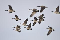 _DSC0112 (Putneypics) Tags: bird spring vermont goose migration canadagoose brantacanadensis branta putneypics