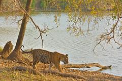 ADS_000064272 (dickysingh) Tags: india lake water cat big indian tiger ranthambore ranthambhorenationalpark