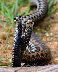 """""""Adder Dance"""" in the sun (its that time of the year again!) (One more shot Rog) Tags: hot nature fauna dance dancing wildlife v viper zigzag adder poisonous venomous basking zigzags adders vipers onemoreshotrog adderdance rogersargentwildlifephotography britishwiildlifecentre"""