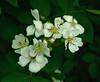 Wild Strawberry Flower -  Along Buffalo River Trail, Northwest Arkansas (danjdavis) Tags: flower whiteflower arkansas wildflower wildstrawberry buffalorivertrail whitewildflower