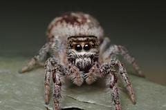 Eris on a Picnic Table (Doundounba) Tags: macro topf25 spider montréal pentax québec jumpingspider araignée k3 salticidae dcr250 raynox salticide parcnaturedelapointeauxprairies vivitarseries1105mmf25macro 35ormorefaves