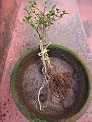 Mix de Jabuticaba Goiaba Mixirica (5) (jemaambiental) Tags: mamadeira jabuticaba bonsais goiaba mixirica prébonsais bonsaístas preparaçãodebonsais mixdeespécies