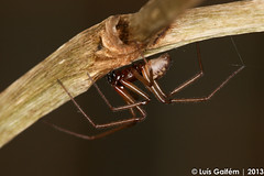 cf. Gibbaranea gibbosa (Walckenaer, 1802) (Lus Gaifm) Tags: macro spider natureza spinne araa pk spindel araigne ragno aranha voras fo pajk edderkop  hmhkki    rmcek   kngul mblik gibbaraneagibbosa zirneklis lusgaifm pnlitoralnorte tecedeiragibosa