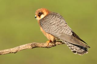 Falco vespertinus ♀ Red-footed Falcon