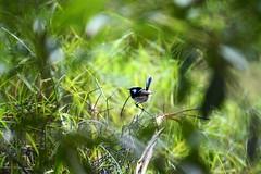 Superb Fairy-Wren (christinemargaretlynch) Tags: bird superb australian bluemountains fairy wren