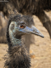 Dromiceius novaehollandiae (Gabriel Paladino Photography) Tags: parque portrait naturaleza brown bird nature face birds animal fauna canon neck uruguay natural head retrato australia ostrich ave cabeza emu pajaro flightless reserva scientific taxonomy classification mamifero dromaius chordata lecocq novaehollandiae casuariiformes dromaiidae dromiceius casuariforme dromiceidos sx50 powershot aves animalia gabrielpaladinoibañez