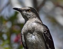 In A Tree (ACEZandEIGHTZ) Tags: mockingbird nature avian florida statebird grayandwhite closeup nikon d3200 birdwatcher polyglottos passerine coth naturethroughthelens specanimal backyard sunrays5 coth5 mimus