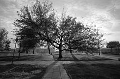 The tree of life. Kraków, Poland. (wojszyca) Tags: contax g2 zeiss biogon 21mm kodak tmax 400 400tmy2 push 800 hc110 epson v800 tree