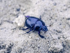Beatle. (Eye of Olympus) Tags: beatle color purple blue insect macro