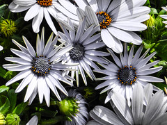 African Daisies (Steve Taylor (Photography)) Tags: green orange selectivecolour white uk gb england greatbritain unitedkingdom flower africandaisy bud