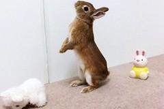 ICHIGO san 620 (Ichigo Miyama) Tags: いちごさん。うさぎ。 rabbit bunny netherlanddwarf brown ichigo ネザーランドドワーフ ペット いちご うさぎ