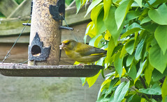2013 05 19 Greenfinch-09 (Keith Laverack) Tags: greenfinch 1facebook 1flickr 1keithlaverack 1wilberfoss