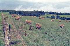 Sheep Pasture, Highlands of Kenya, 1973 img202 (Hart Walter) Tags: tourism coffee cattle rice tea goats sunflower sisal camels sugarcane deforestation desertification tef africanlanduse baobabdestruction