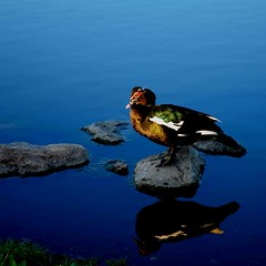 Ugly Duck! (Kuby!) Tags: park water duck nikon may mo ugly springfield nathaniel ozarks greene d300 kuby 2013 kubitschek