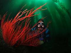 Hidin in the Kelp Forest (NirupamNigam) Tags: underwater wideangle kelp scubadiving southerncalifornia channelislands gorgonian anacapa kelpforest greenwater scubadiver californiadiving redgorgonian northernchannelislands