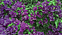 Purpura y Verde. (Orcoo) Tags: flowers naturaleza flores flower color nature colors mexico flor natura colores bougainvillea nuevoleon monterrey bugambilia