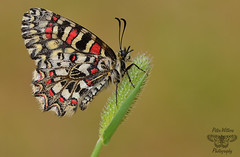 Spanish Festoon - (Zerynthia rumina) (Pete Withers) Tags: