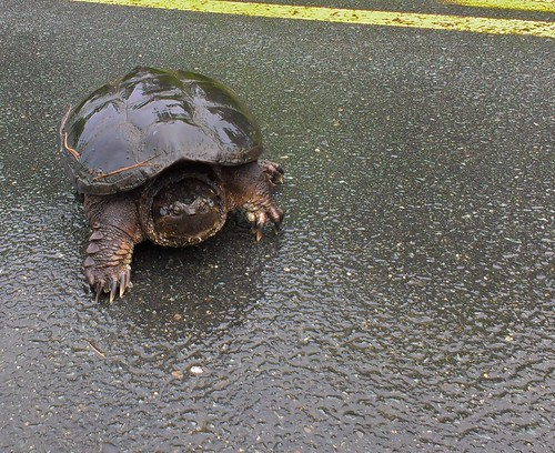 Snapping turtle crossing