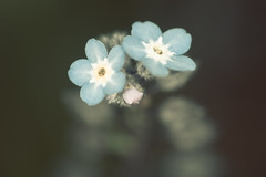 Forget me Not (Grant_R) Tags: flower macro closeup forgetmenot grantr