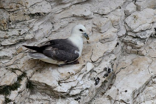 Fulmar  poses   Bempton PART 2  13.6.2013 (1)
