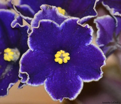 An African Violet (Annette LeDuff) Tags: flora africanviolet favorited coth fantasticnature perfectpetals photossansfrontières coth5 keepyoureyesopenayezloeil dreamsilldream floraaroundtheworld photoannetteleduff annetteleduff eblouissantenaturebrilliantnature ourwonderfulandfragileworld madaboutflowers 07012013 rainbowofnaturelevel1red