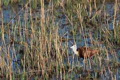 20130604_Botswana_Kwetsani_0048.jpg (Bill Popik) Tags: africa birds botswana 2places 3animals africanjicana