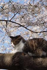 Arrogance (stekler) Tags: japan tokyo ueno blossom sakura hanami uenopound