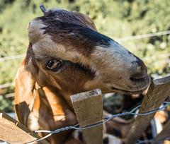 You Can Feed Me (John Skelson) Tags: newyork unitedstates goats statenisland nationalparkservice gatewaynationalpark fortwadsworth nikond600 johnskelson nikon28300mmlens fortwgoats
