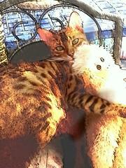monkey hugs 2 (derena_d.) Tags: art beautiful artistic kittens bengal 2012 interpretations flickrandroidapp:filter=none