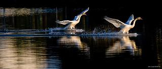 Cygnes sur l'étang