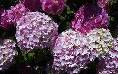 Hortensia (Selqet) Tags: flowers macro nature nikon july natura coolpix hydrangea fiori ortensia hortensia p100 2011 selqet