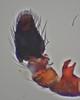 Jumping Spider (Salticidae) - Heliophanus tribulosus (male) (iainrmacaulay) Tags: france male spider jumping salticidae heliophanus palp tribulosus
