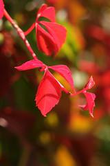 Autumn Colors (gripspix (catching up slowly)) Tags: nature natur autumncolors bostonivy herbstfarben wilderwein parthenocissustricuspidata 20130921