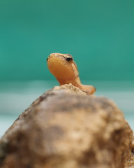 newt. [Explored] (bojangles_1953) Tags: macro newt fairburn