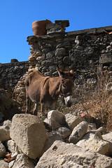 Donkey-2006_01 (Jan Thomas Landgren) Tags: travel vacation holiday nature animal animals natur hellas donkey greece mule djur konicaminolta grekland domesticanimal lappa sna konicaminoltadynax7d