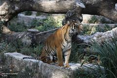 _M2A1455 (Stewart Taylor (SMT Photography)) Tags: barcelona wild nature photography zoo photo natural tiger photographs sumatrantiger captive naturalworld bigcats captivity canon5diii
