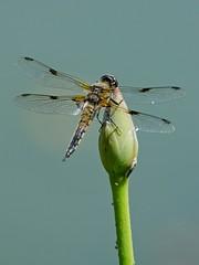 Vierfleck (Libellula Quadrimaculata) 3679 (fotoflick65) Tags: bug linz insect im dragonfly iso400 ds tc pro 300 libelle insekt f11 garten 34 libellula leopold odonata flug fliegende kenko iso500 vierfleck fliegender 300mmf4d quadrimaculata plattbauch dgx segellibelle d7000 groslibelle kepplinger st640 y2013 fl420 fl400450 st400800 fotoflick65 ni300 ym07