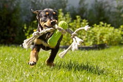 Sunny (proefdier) Tags: dog baby playing puppy sunny hund dogtoy mixedbreed mischling welpe 50d hundespielzeug chewingtoy rottweilerdobermanndalmatinermix