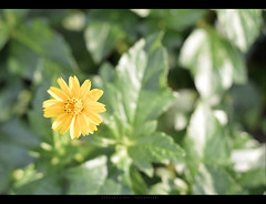 Ph-o-ol (Bikramjit Dey) Tags: nature beauty 50mm bokeh hyderabad vision:plant=0867