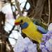 Aussie parrot (Yellow Rosella)