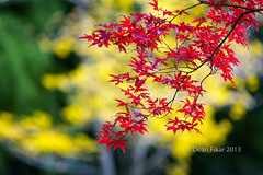 Japanese Maple Tree on a Colorful Fall Day (dfikar) Tags: park november autumn red abstract color tree fall nature beauty forest season landscape leaf maple colorful pattern texas natural bright outdoor background seasonal vivid foliage ornamental japanesegardens fortworthbotanicalgardens