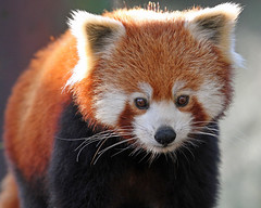 Red Panda (Buggers1962) Tags: portrait nature face animal closeup canon mammal zoo eyes firefox panda close wildlife redpanda colchester colchesterzoo greatphotographers fantasticnature itsazoooutthere canon7d hganimalsonly hennysanimals highqualityanimals