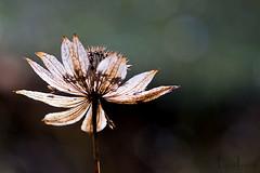 astrantia seed head (leavesnbloom photography by Rosie Nixon) Tags: perthshire perth leavesnbloom rosienixon astrantiaseedhead