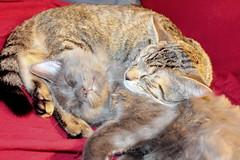 afternoon snooze (judecat (mostly hibernating))) Tags: cats kittens felines vinny ozzie bluetabby browntabby catssleeping